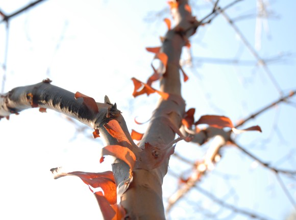 PHOTO: Paperbark maple (Acer griseum) bark.