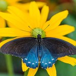pipevine-swallowtail-featured-image
