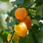 plum_tomatoes