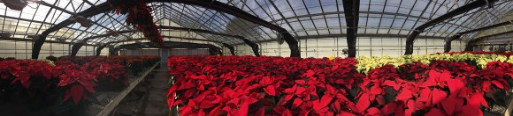 PHOTO: panorama of poinsettias in the production greenhouses.