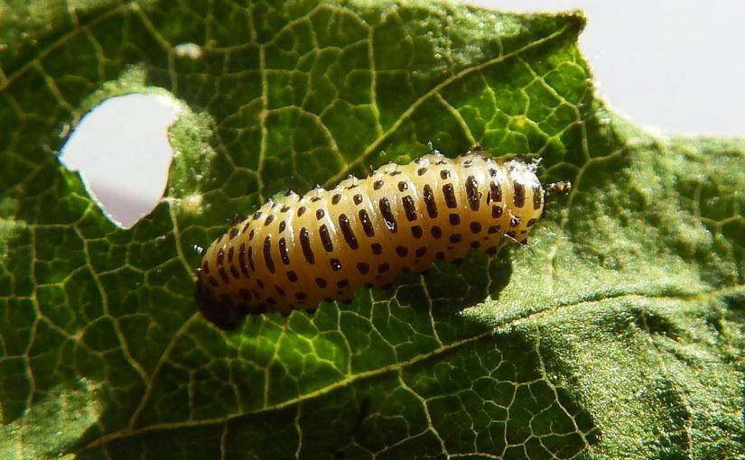 Viburnum Leaf Beetle Update – Winter Scouting