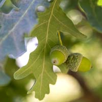 PHOTO: Fastigiate English Oak acorns (Quercus robur).