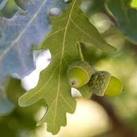PHOTO: Fastigiate English Oak acorns (Quercus robur).