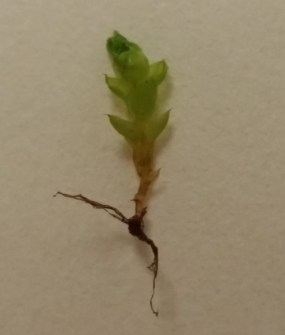 PHOTO: A single moss gametophyte grows from a root-like rhizome.