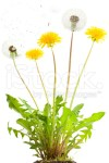 stock-photo-13198718-dandelion
