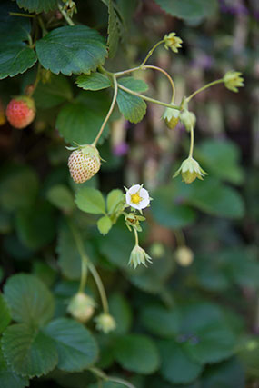 Strawberry plant in fruit and flower