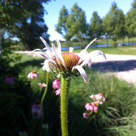 PHOTO: Echinacea with path in background.