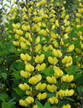 PHOTO: Sunny Morning false indigo.