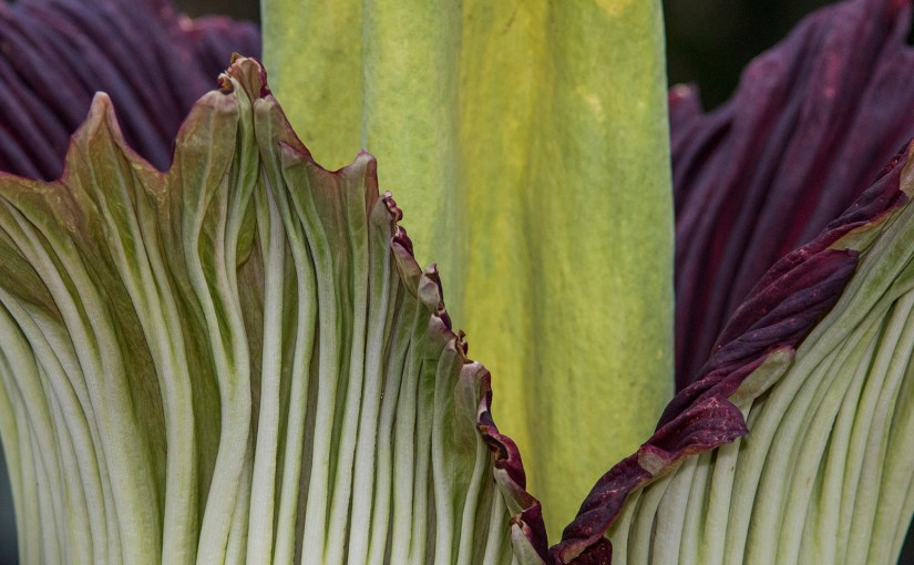 About that name: behind Alice the Amorphophallus