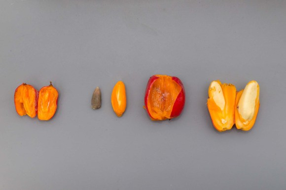 PHOTO: One fruit resulting from Spike's pollen is on the left; two fruits from Stinky's pollen is in the center and on the right. The fruit in the center has been opened and the two seeds removed. The large seed on the right, though still unripened, reveals what the final titan arum (Amorphophallus titanum) seed will look like.