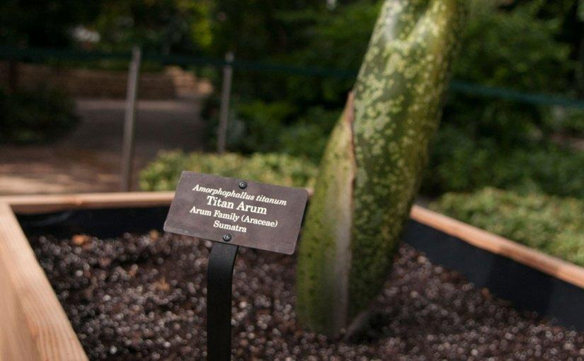 PHOTO: Titan arum bud (Amorphophallus titanum).