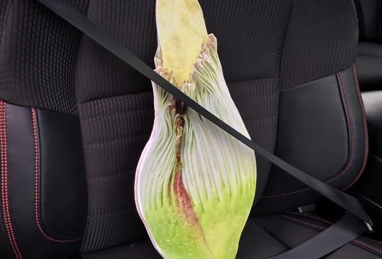Corpse flowers go on an excellent adventure