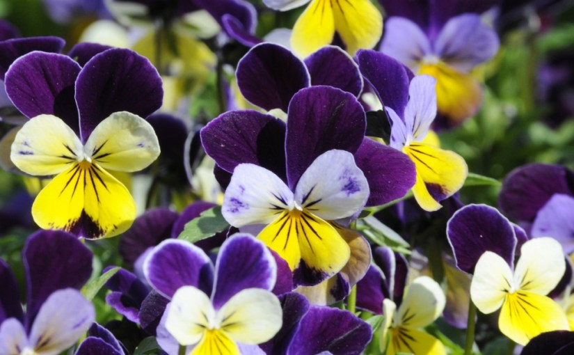 PHOTO: Closeup of a multicolored viola in bloom.