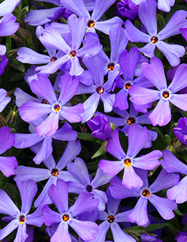 PHOTO: Violet Pinwheels phlox.