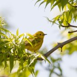 Warbler in May.