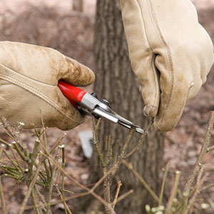 The Frugal Gardener: Winter Pruning, Part 1