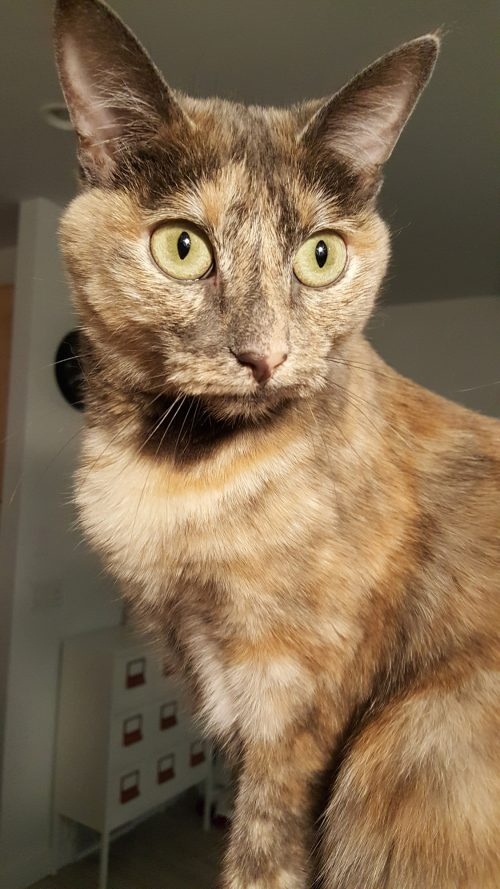 exotic cat with long pointy ears and sharp green eyes