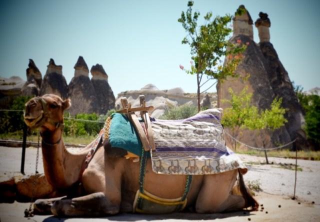2015_camel