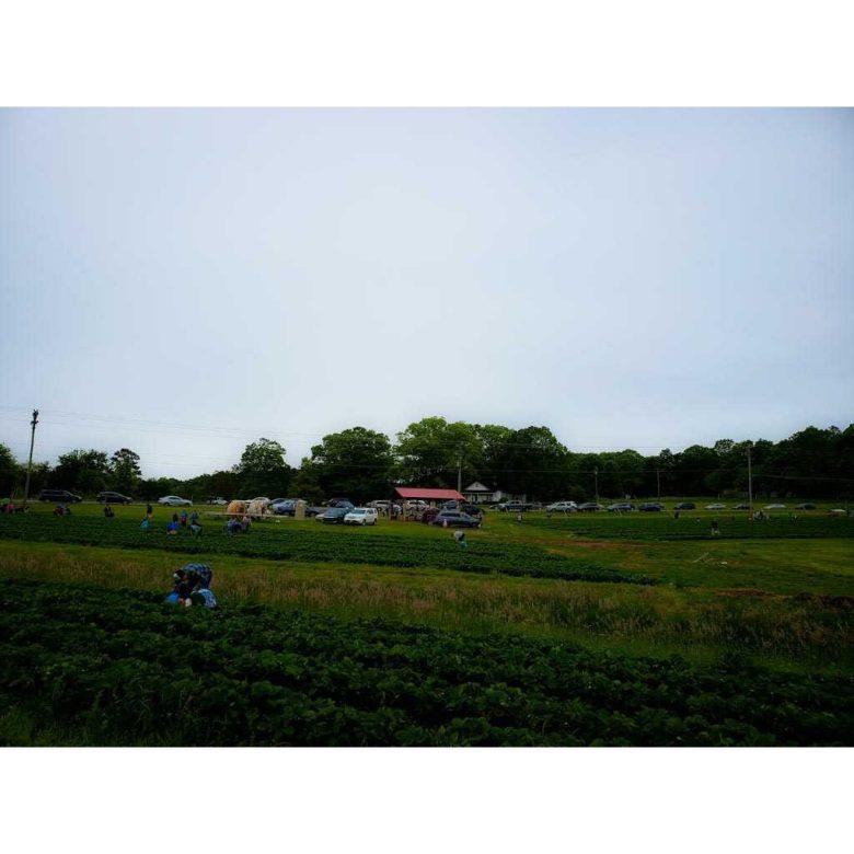 Large crowed at Jones Strawberry Farm