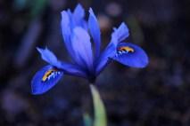 Iris reticulata looking its best