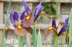 Iris Black Beauty