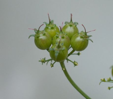coriander seed close