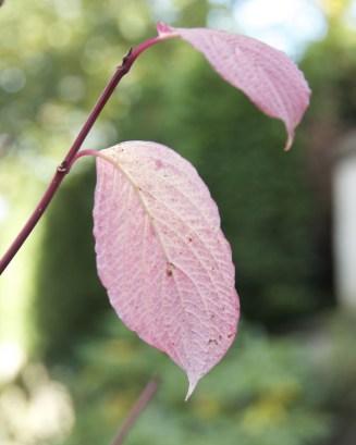 Dogwood - the last leaves