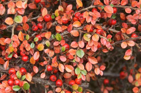 Cotoneaster Autumn colour