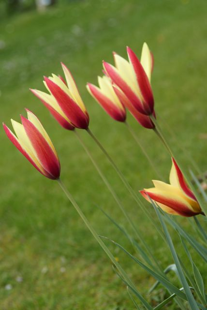Tulipa clusiana - a great little species tulip. The first year I have grown them.