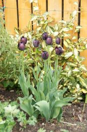 Tulipa 'Queen of Night'. Wonderful!
