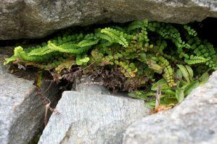 fern in rocks