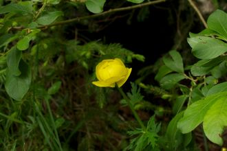 Globeflower/Trollius europaeus