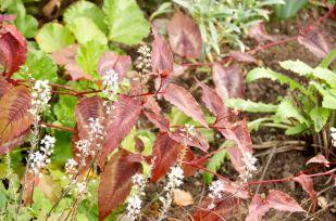 Persicaria Red Dragon with Tiarella Spring Symphony