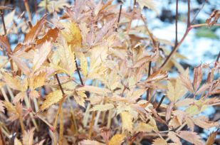 Dying foliage of Astilbe