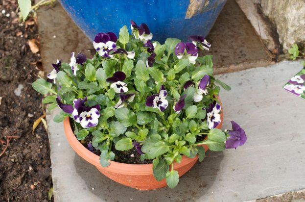 Pot of violas - a lovely present