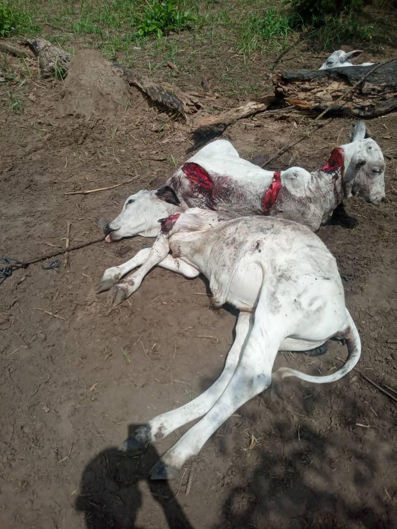 Herdsmen Go Wild, Demand Police Investigate Killings of Over A Hundred Cattle