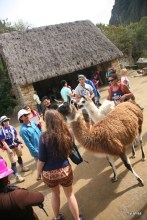 Tourists enjoying the llamas.