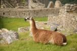 Happy llama!