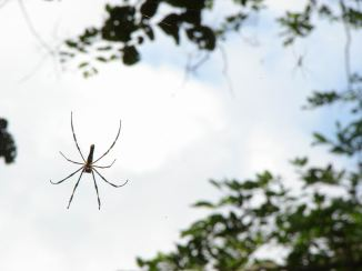 Big Spider in Polo Forest
