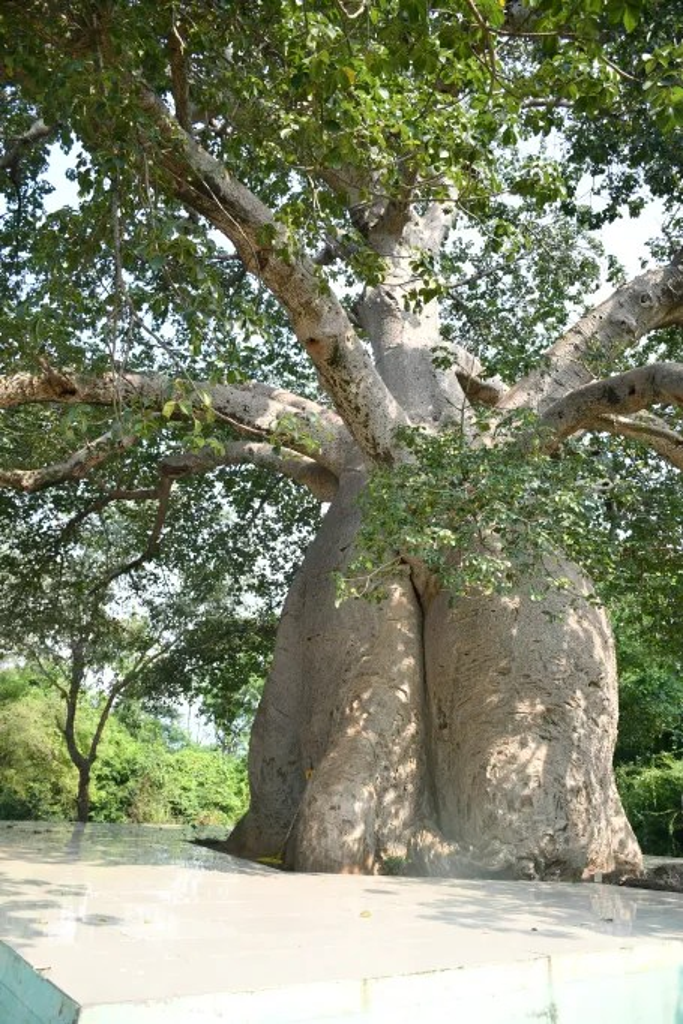 giant tree vadodara