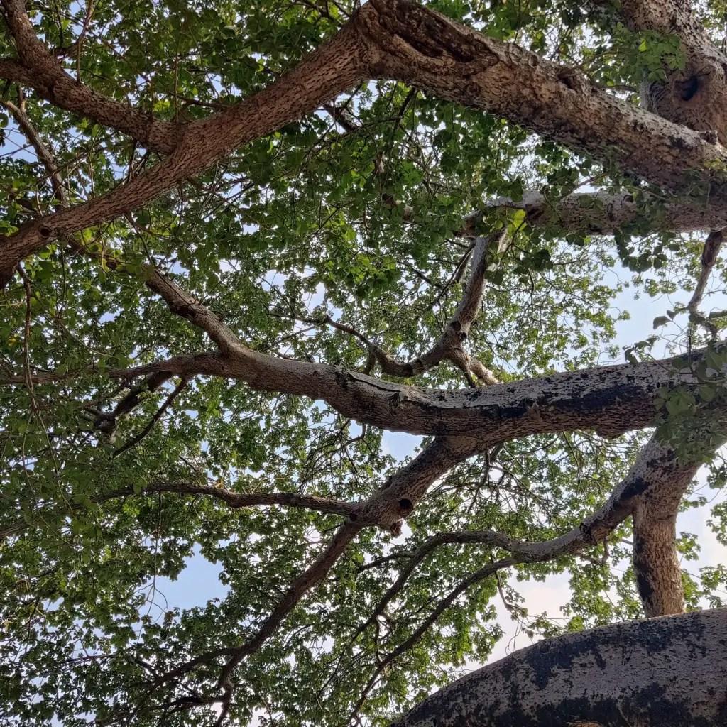 coverage of baobab tree