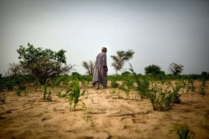 Adou Issa looking over his stunted crops in the Zinder region of Niger.