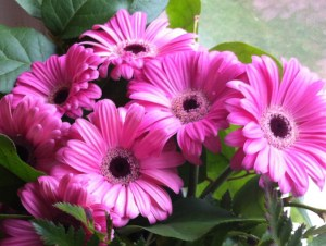 Purple/pink Gerbera daisies enjoying spring by a window
