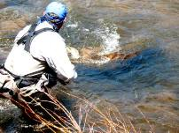 A fly fishing guide leans over to net a writhing trout in the South Platte River near Deckers, Colorado.
