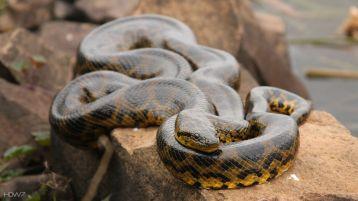 yellow-anaconda
