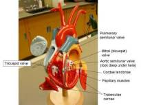 Labeled Human Heart Model 1