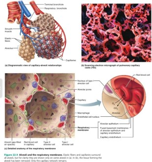Alveoli in the lungs