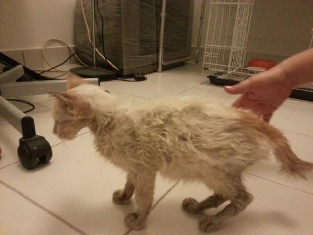 mini-jaclyn kitten