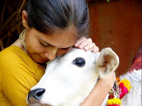 hugging cow