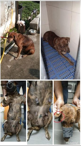 Neutering Aid For 1 Dog In Cheras (Yeap Saw See's)